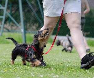 heel - dog focuses on you when walking