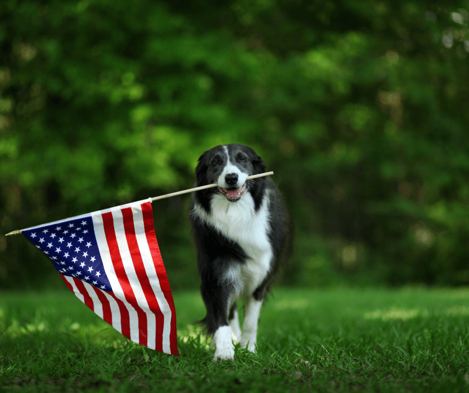 confident and happy dog carrying U.S. flag