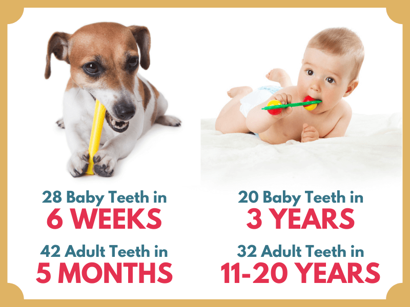 puppy chewing to ease teething vs human teething