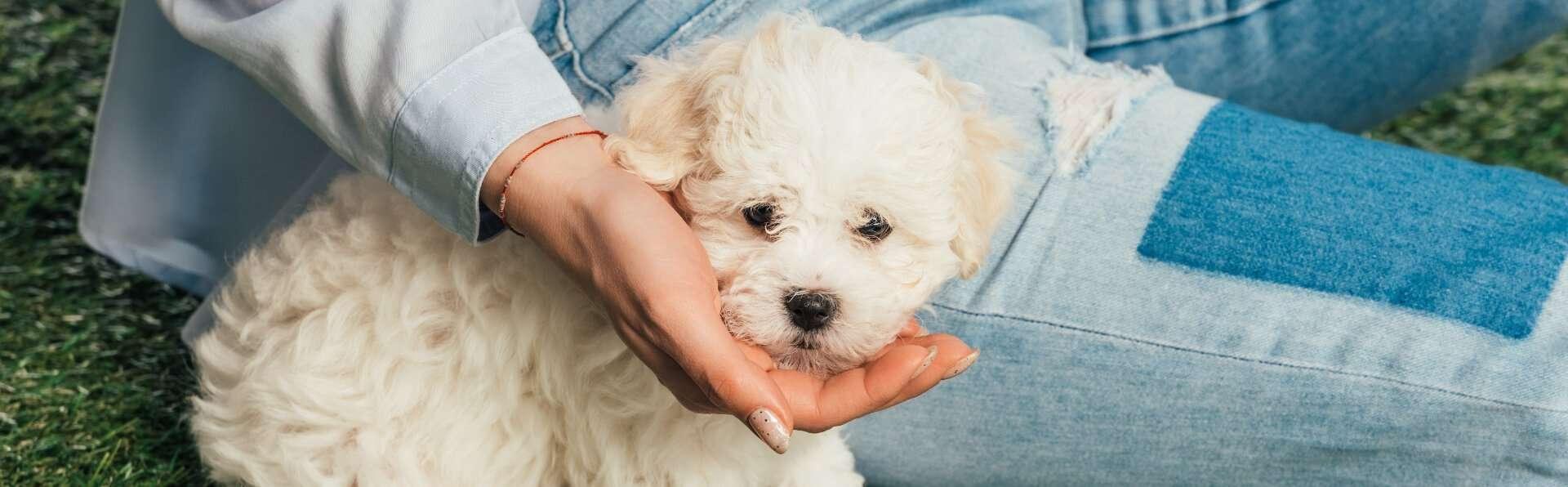 adorable havanese puppy