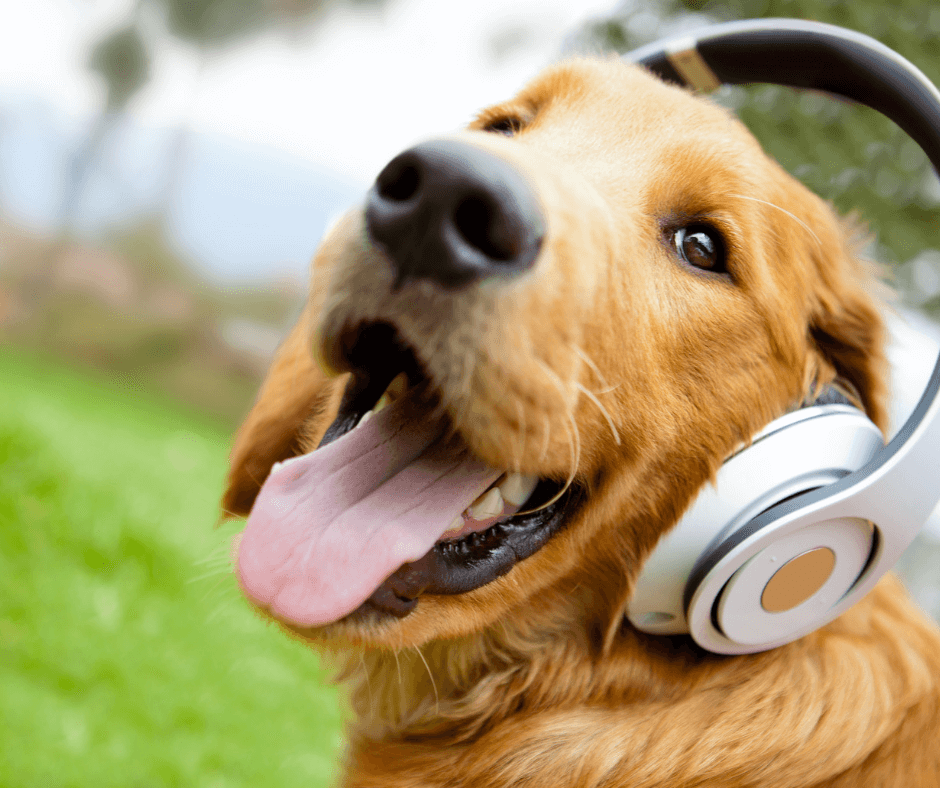 dog wearing headphones to help block out loud noises